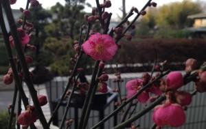 Erste Pflaumenblüte dieses Jahr in unserem Garten