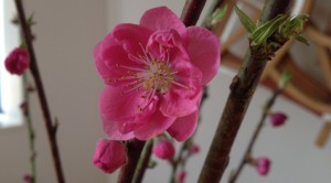 Peach blossom in full bloom